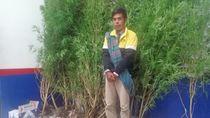 Ingin Cepat Kaya, Seorang Petani di Bengkulu Nekat Tanam Ganja di Rumah