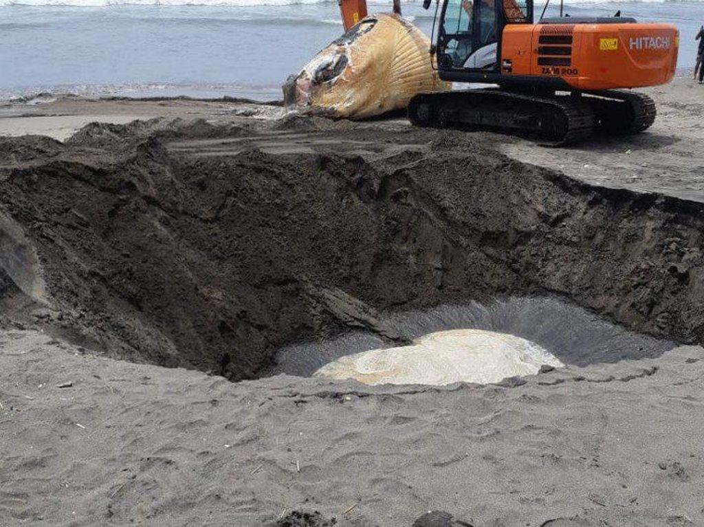 Bangkai Paus Bryde 13,8 Meter Terdampar di Pantai Batu Belig Bali