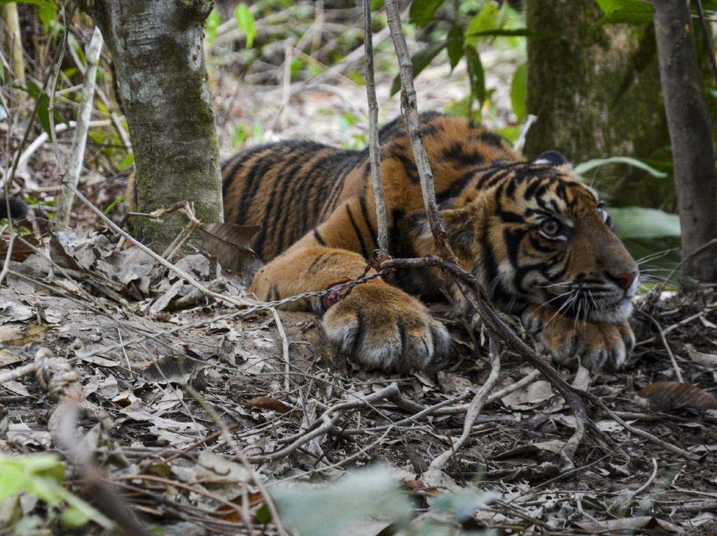 Kasihan! Anak Harimau Ini Terjebak Jerat