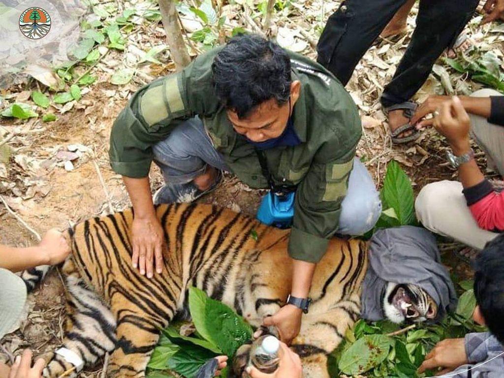 Harimau Terluka Kena Jerat di Aceh Tenggara, Dievakuasi ke TNGL