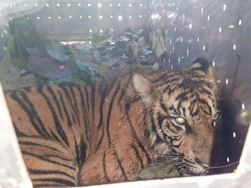Sempat Berkeliaran, Harimau di Perkebunan Pasaman Barat Diamankan