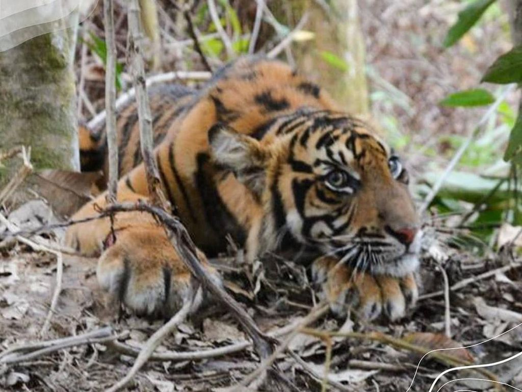 Harimau Terkena Jerat di Aceh Sehat, Segera Dilepasliarkan