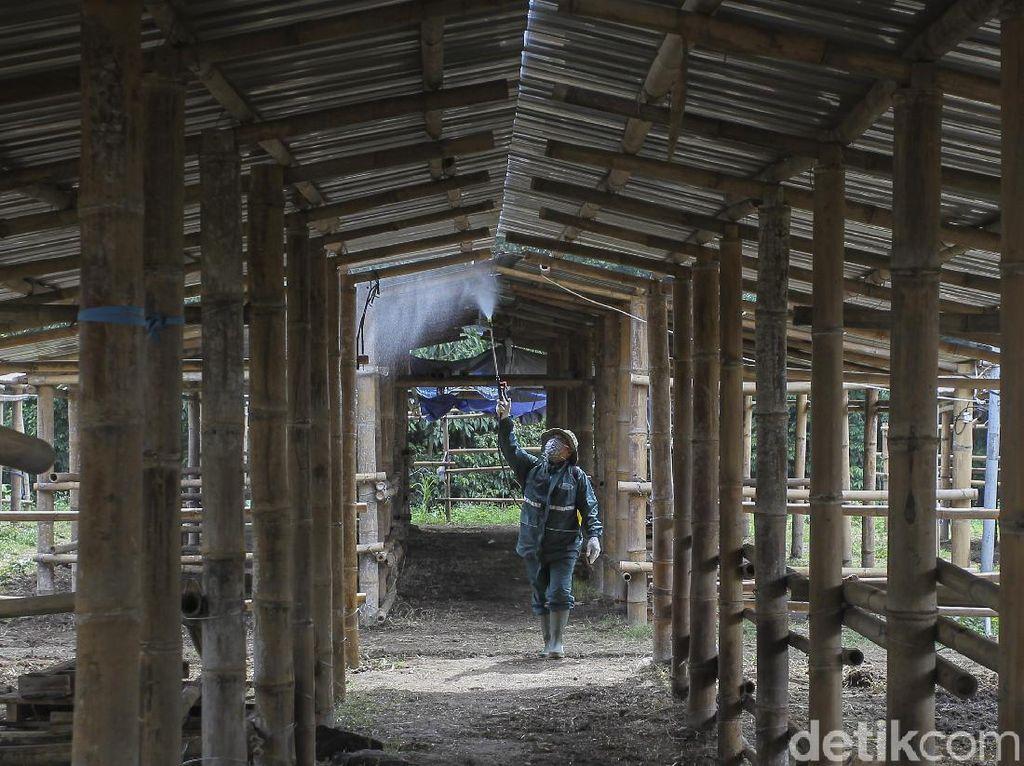 Kandang Ternak Pengungsi Gunung Merapi Disemprot Disinfektan