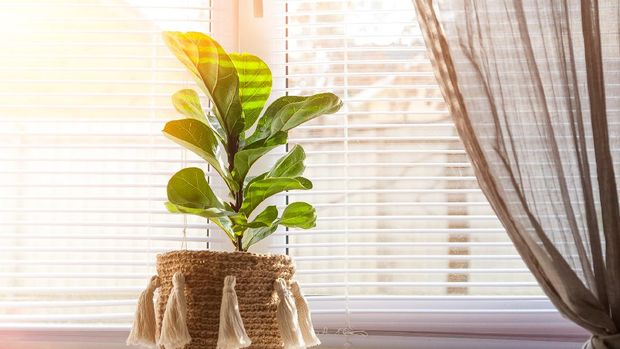Ficus lyrata on a windowsill close-up. Detail of scandinavian interior and copy space. A flower pot in a wicker basket with fringe on a window with shutters.