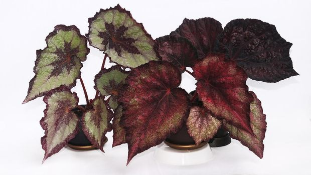Fine flower begonia rex with the absraktny drawing on leaves on a white background