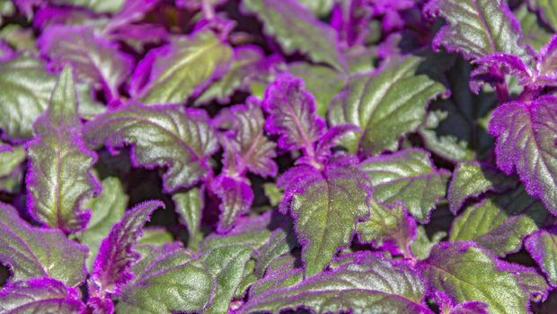 detail shot of some green Gynura leaves with violet fluff
