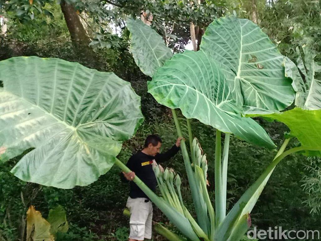 Menengok Tanaman Talas Raksasa di Lembang, Tingginya Hampir 3 Meter