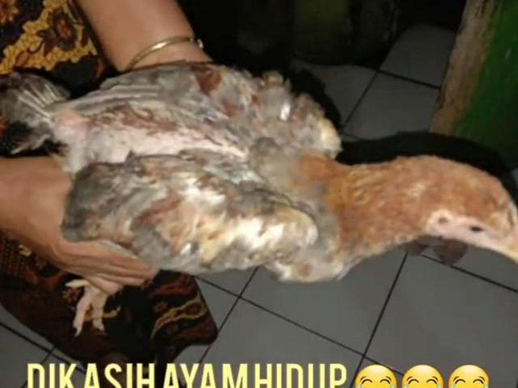 Heboh Bansos Ayam Hidup di Cianjur, Begini Alur Distribusinya