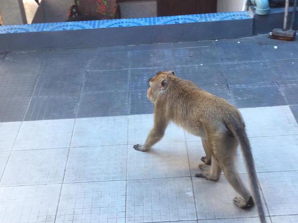 Kawanan Monyet Serbu Kampung di Banjarnegara, Warga Resah