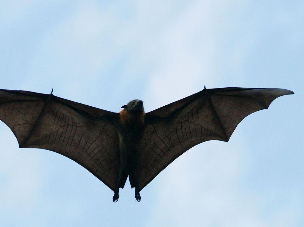 Kelelawar Pembawa Virus Mirip COVID-19 Ditemukan di Thailand