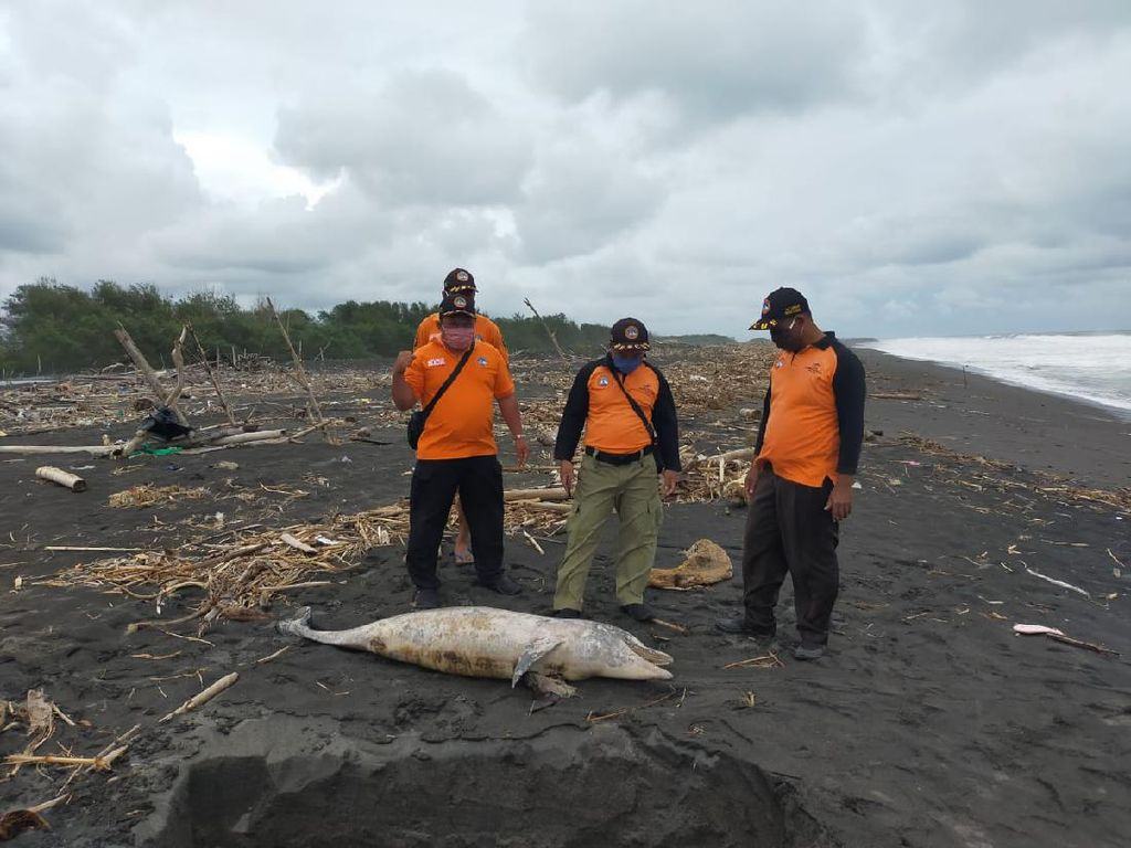 Bangkai Penyu dan Lumba-lumba Ditemukan di Pantai Kulon Progo