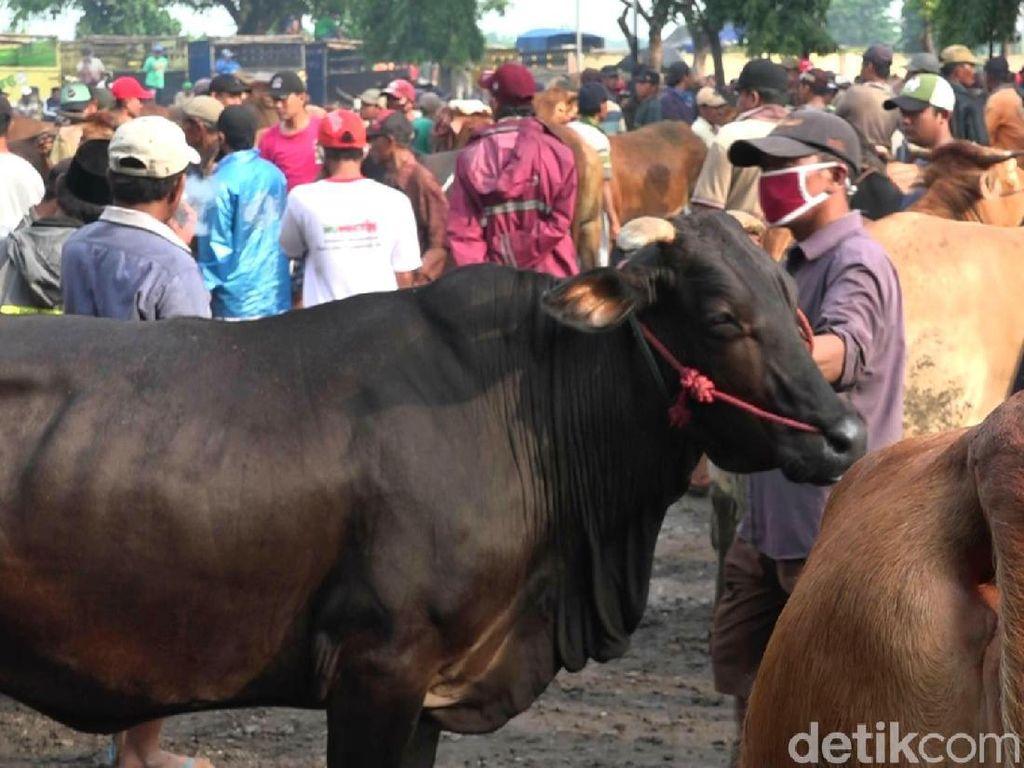 Daging Masih Mahal di Jakarta, Harga Sapi Probolinggo Naik Rp 1-2 Juta