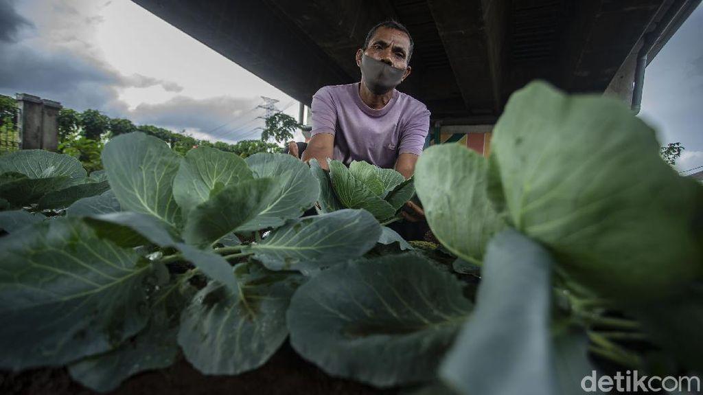 Bukan Pegunungan, Sayuran Segar Ini Tumbuh di Kolong Jembatan Lho