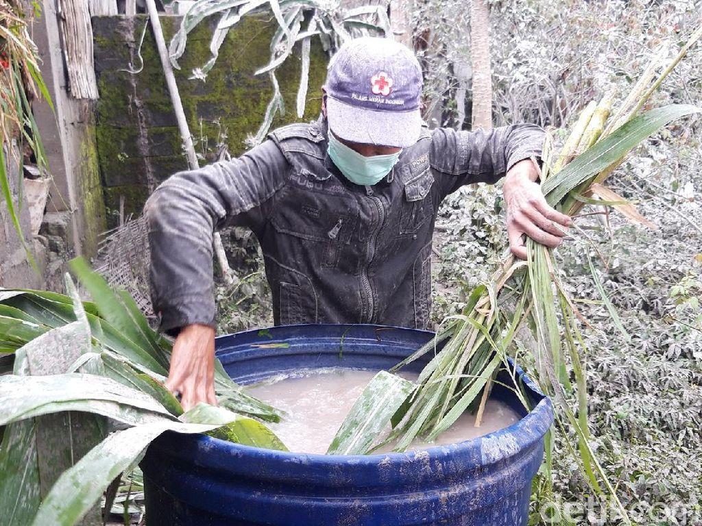 Dampak Hujan Abu Merapi, Warga Boyolali Sulit Cari Rumput Pakan Ternak
