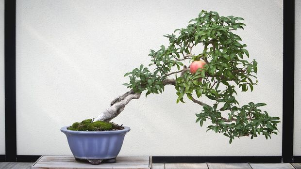 100+ year old bonsai pomegranate tree, with one pomegranate. Picture is slightly toned and styled.