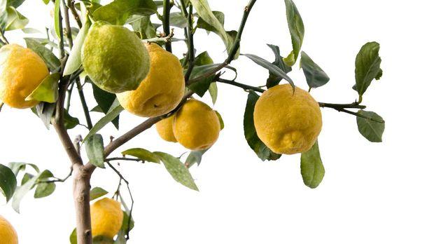 Lemon tree with 8 fruit isolated on white
