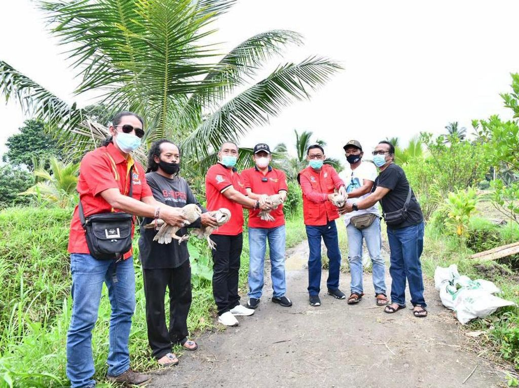 Bareng SOKSI, Bamsoet Lepas 6 Burung Hantu Pembasmi Hama di Tabanan