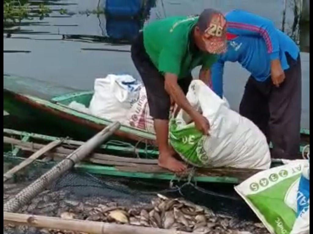 25 Ton Ikan Mati di Waduk Saguling, Kerugian Capai Rp 500 Juta
