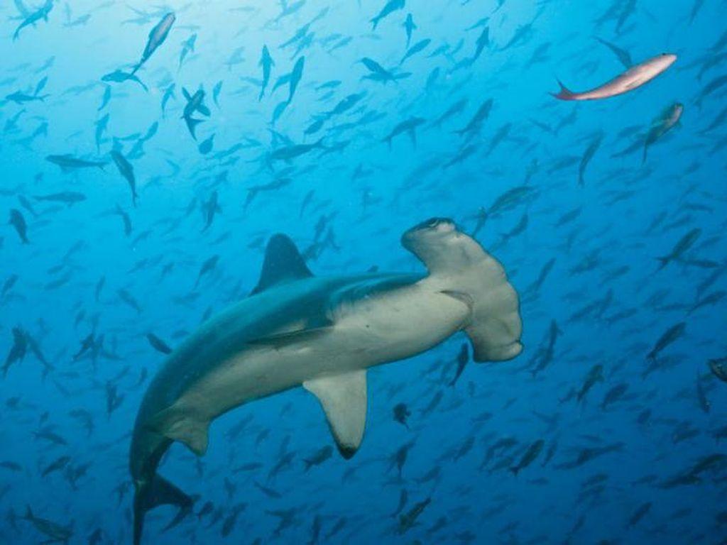 Peneliti IPB : Populasi Ikan Hiu Martil di Indonesia Masih Terjaga