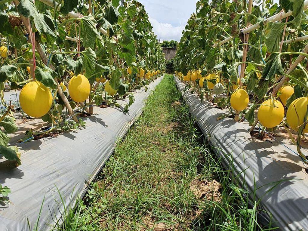 Subsektor Hortikultura Tumbuh Positif 7,85% di Kuartal IV 2020