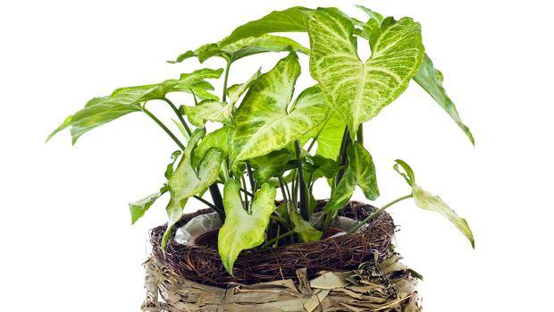 ilustrasi tanaman hias syngonium arrowhead plant 169