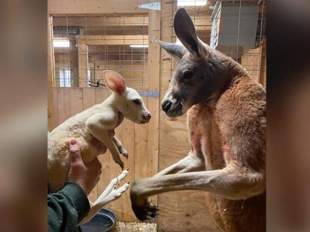 Sangat Langka, Kebun Binatang Ini Dianugerahi Kelahiran Kanguru Putih