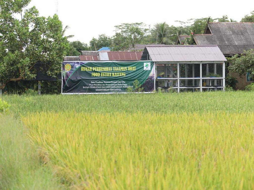 Petani Tepis Isu Food Estate Kalteng Gagal Panen: Kami Malah Untung