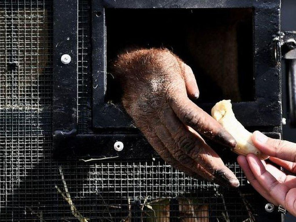 Orangutan Korban Penyelundupan Dipulangkan ke Indonesia