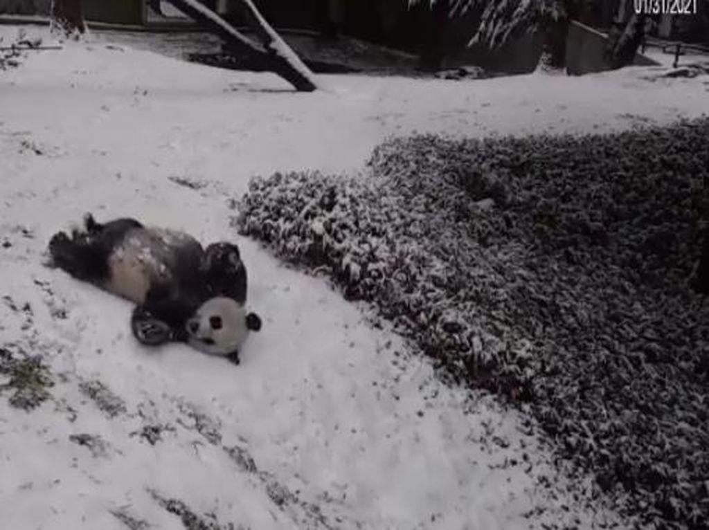 Gemas! Lihat Deh Serunya Panda Raksasa Ini Main Seluncuran Salju