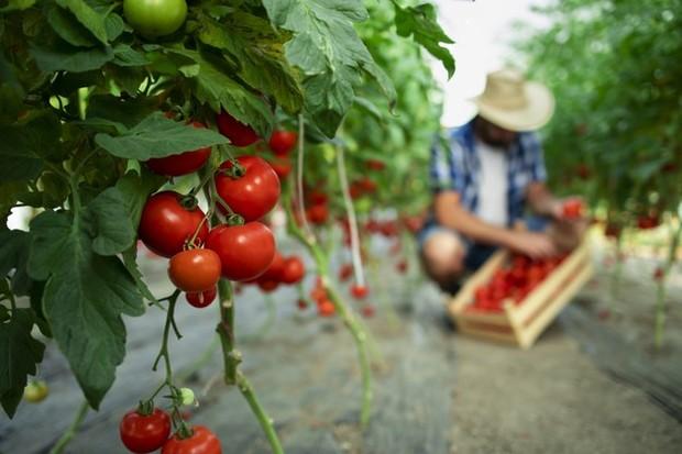 Tanaman yang dapat ditanam di lahan sempit yaitu tomat/freepik.com