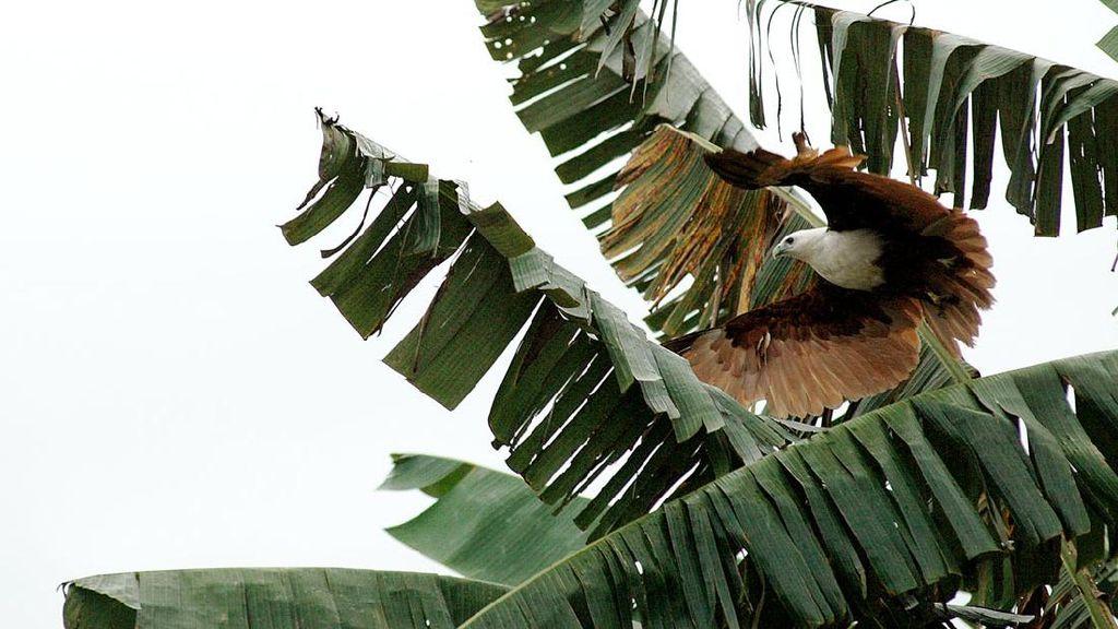 Burung Biawak di Sungai Mapilli