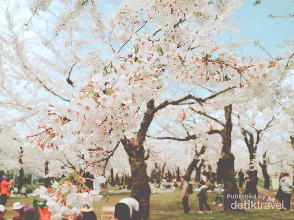 Orang Jepang Punya Tradisi Unik untuk Memaknai Sakura