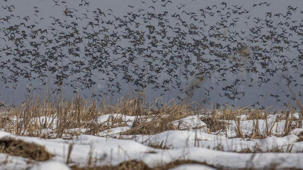 Momen Beri Makan Ribuan Burung Migrasi di Tengah Salju Himalaya