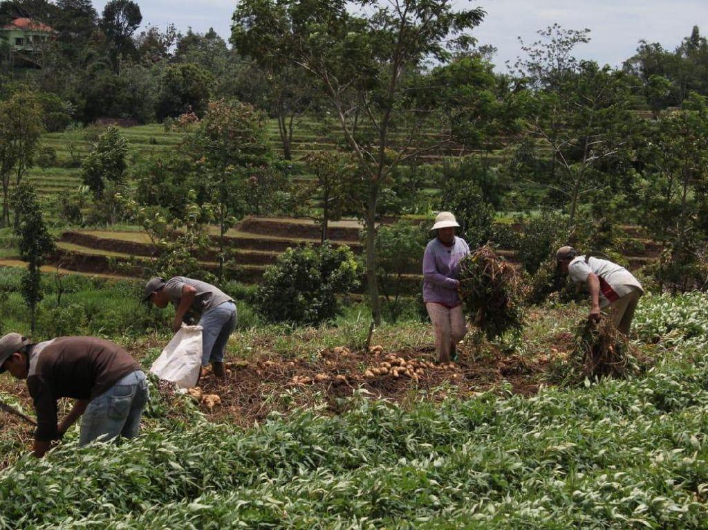 Cara ACT Selamatkan Petani Ubi yang Merana Akibat Harga Anjlok