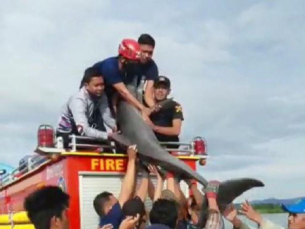 Lumba-lumba Terdampar di Sungai di Luwu Sulsel, Damkar Evakuasi ke Laut