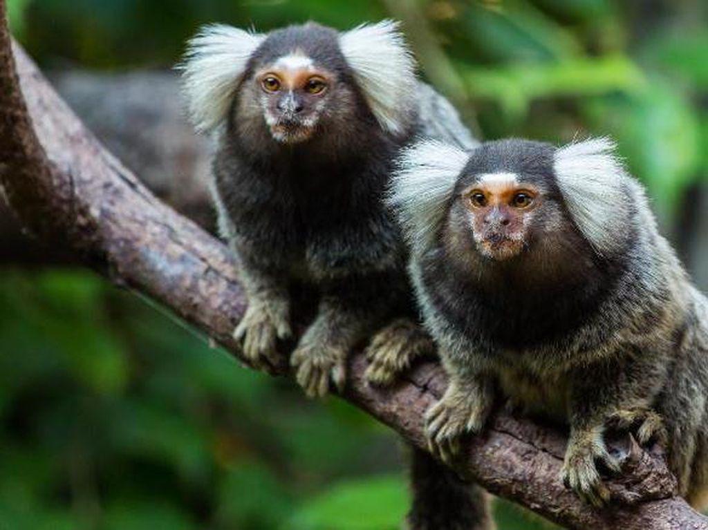 Ternyata Primata Ini Bisa Nguping Obrolan Monyet Lain