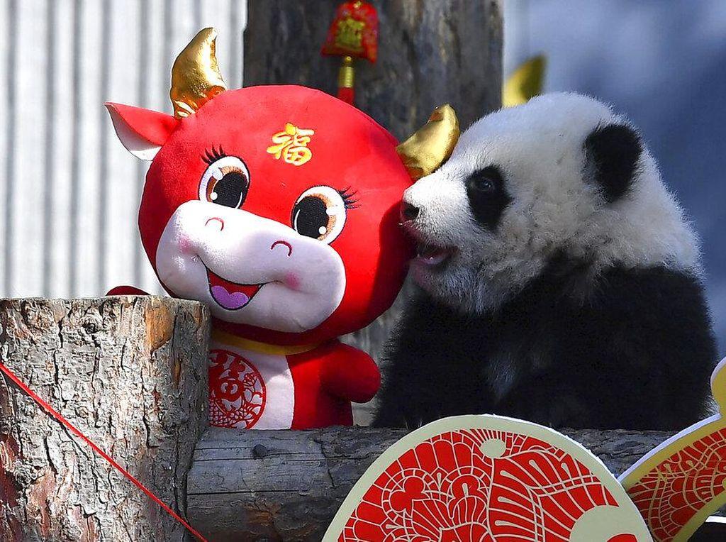 10 Anak Panda Kebagian Angpao Pas Imlek