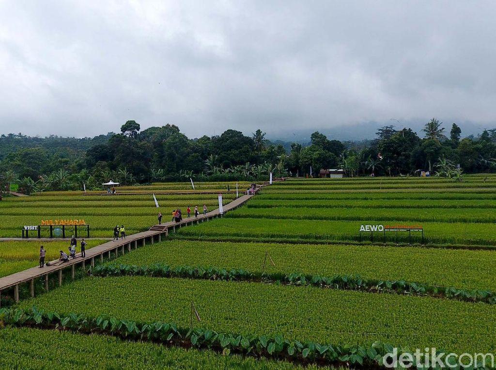 Main ke Sawah Mulyaharja di Bogor, Ini Kegiatan Serunya