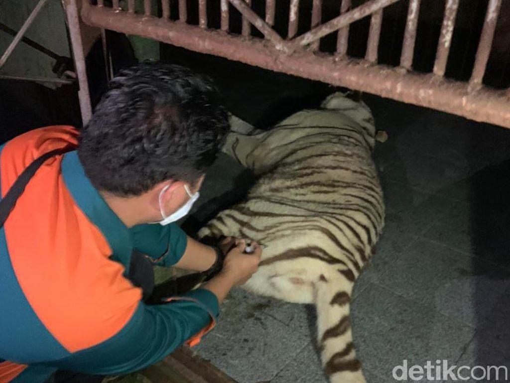 11 Fakta Mencekam 2 Harimau Sinka Zoo Lepas dari Kandang-Terkam Pawang