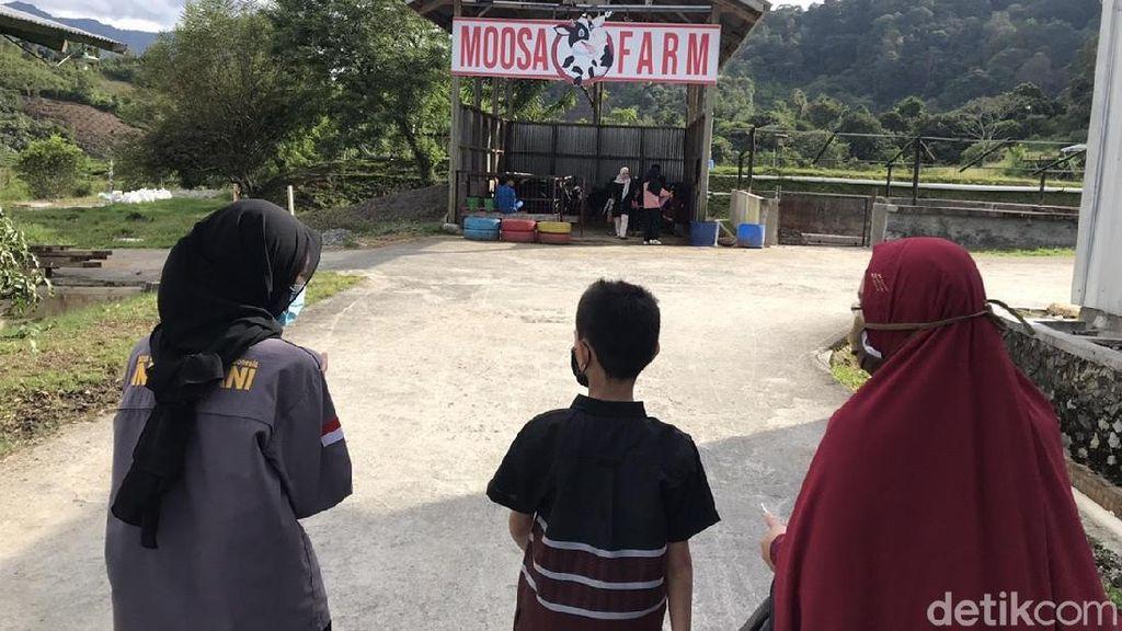Foto: Memerah Susu Sapi dan Menikmati Strawberry di Moosa Edufarm