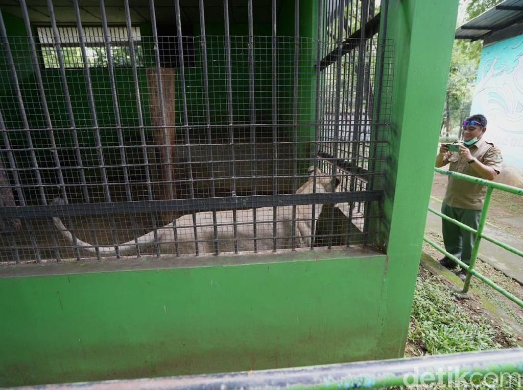 Berkaca Harimau Lepas di Sinka Zoo, BKSDA Jateng Cek Kandang di Taman Jurug