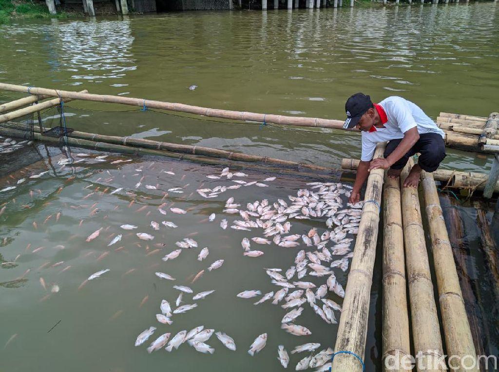 Ribuan Ikan di Tambak Telaga Ngebel Ponorogo Mati Imbas Air Tercampur Belerang