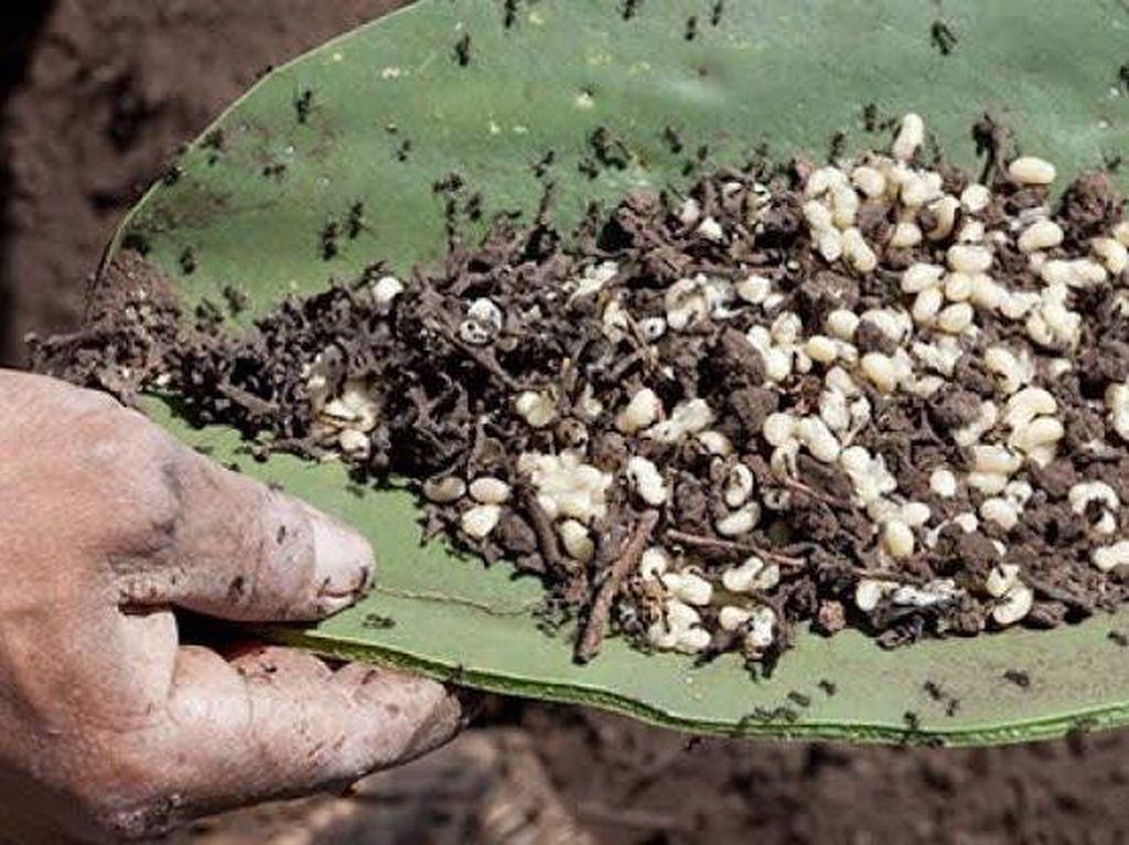 Bukan Telur Ikan, Kaviar Meksiko Ini Berasal dari Telur Semut