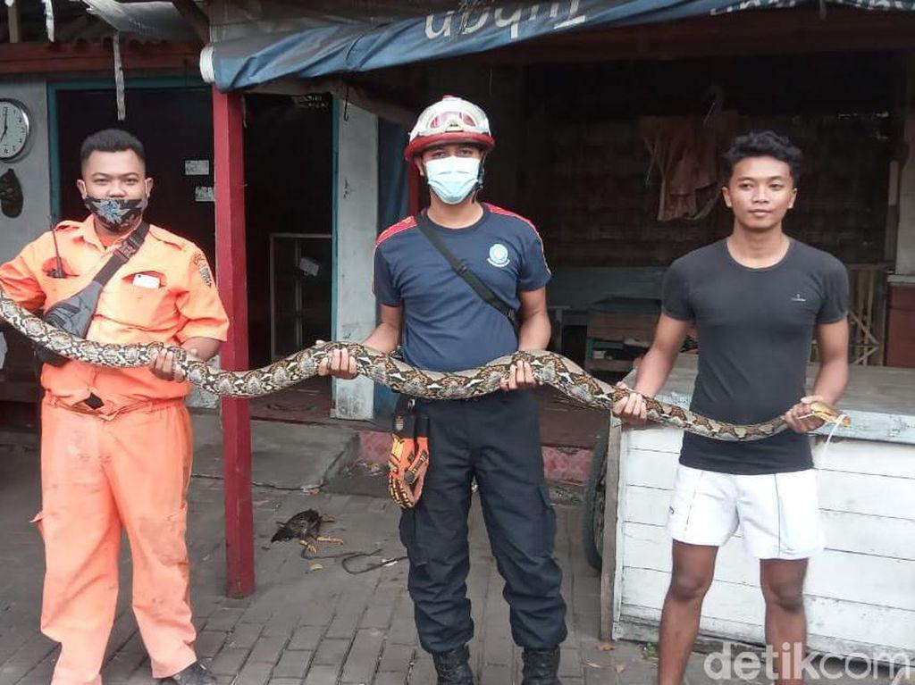 Hiii, 2 Ular Piton Teror Rumah Warga di Rembang