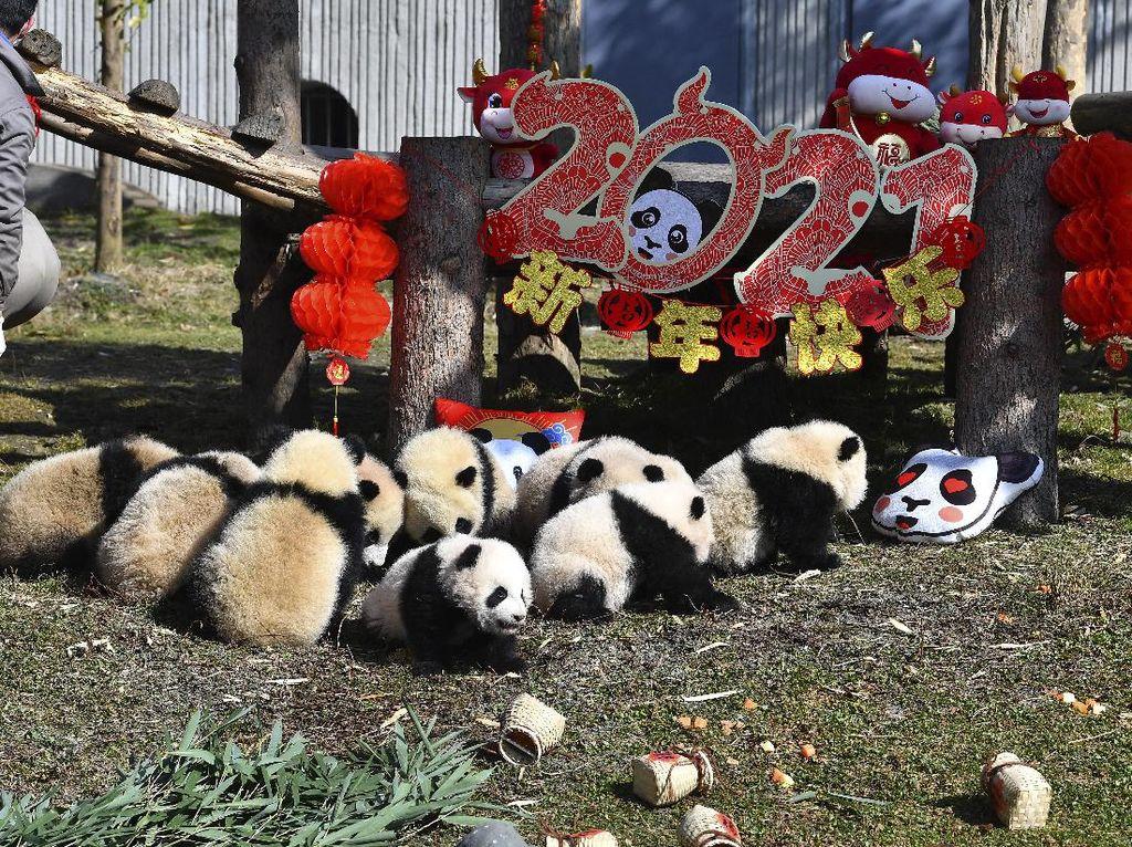 Gemes! China Pamerkan 10 Anak Panda Jelang Tahun Baru Imlek