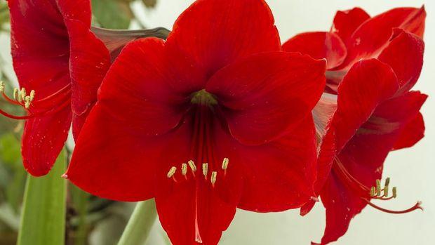 Red Amarilis Flower