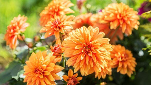 Orange dahlia flowers on flowerbed in garden