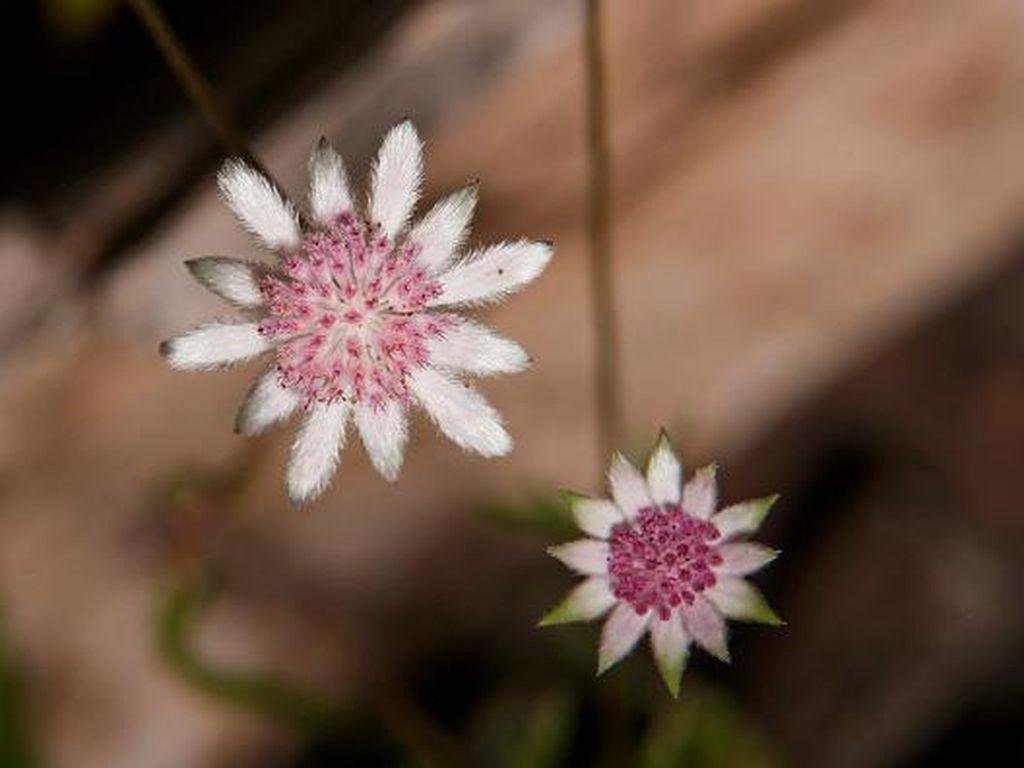 Cantiknya Bunga Langka yang Mekar di Bekas Lahan Karhutla Australia