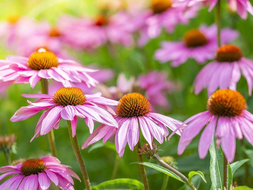 Manfaat Echinacea Purpurea untuk Cegah Infeksi Virus Corona
