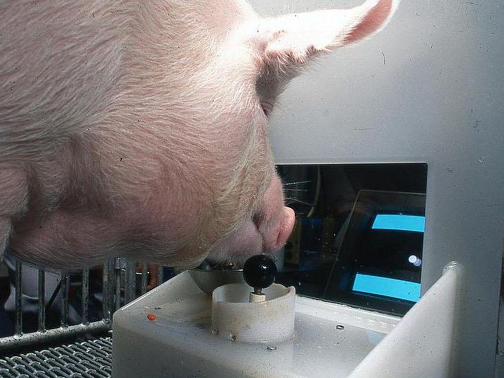 Babi Bisa Main Video Game, Ilmuwan Sebut Bukan Pencapaian Kecil